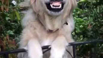 Cachorro Sorrindo Para Sua Dona Quando Ela Chega Em Casa, Veja Que Fofo!