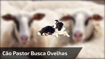 Cachorro Super Ágil Na Hora De Buscar As Ovelhas No Pasto!