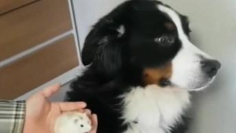Cachorro Tem A Reação Mais Engraçada Ao Se Deparar Com Hamster!