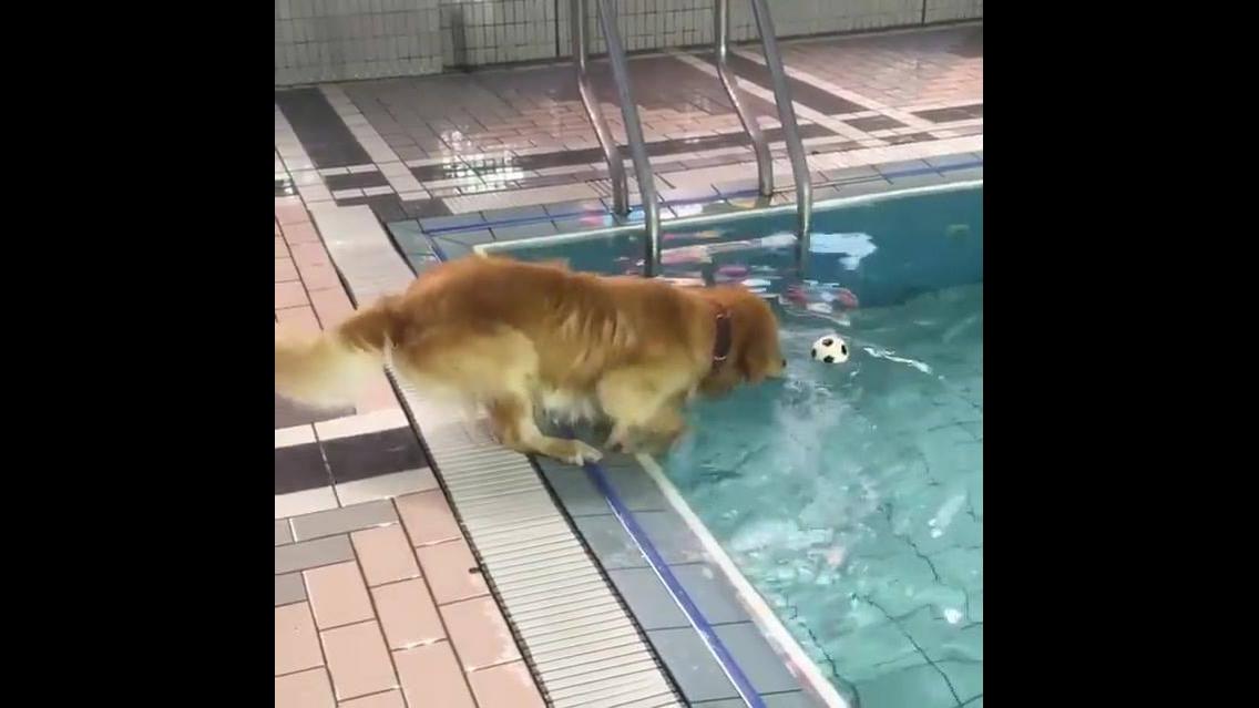Cachorro tentando pegar a bolinha dentro da piscina
