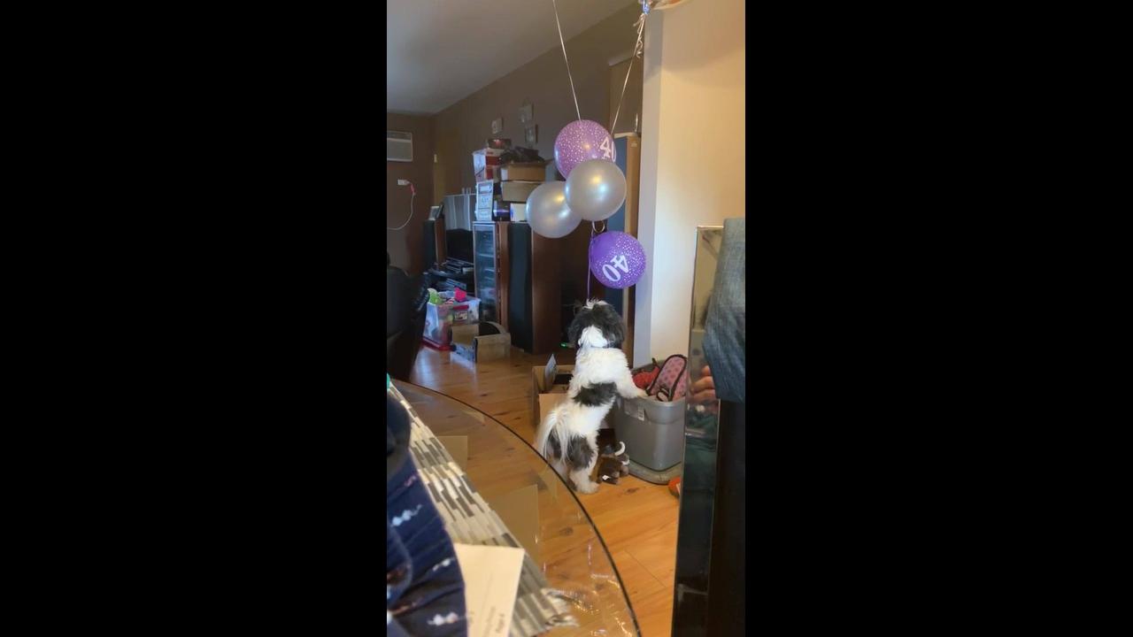 Cachorro tentando pegar o balão