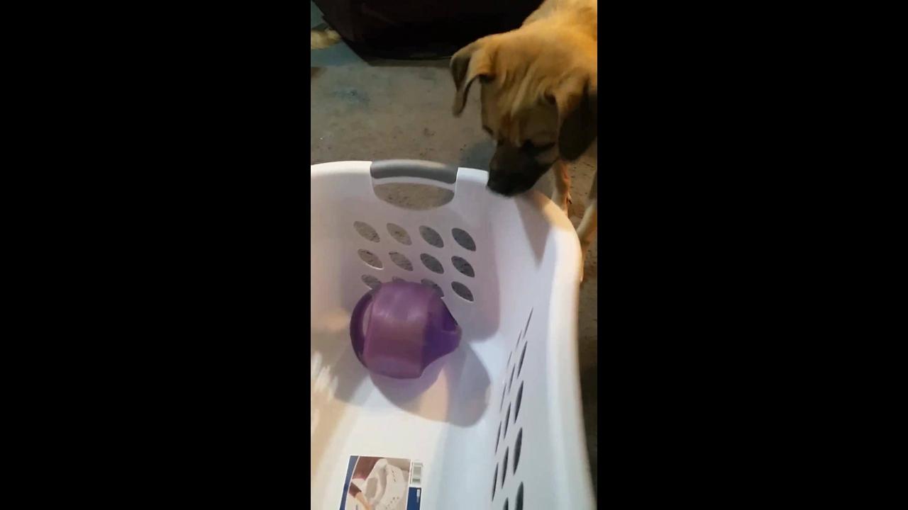 Cachorro tentando pegar o brinquedo