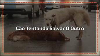 Cachorro Tentando Salvar Outro Que Tinha Sido Atropelado, Muito Triste!