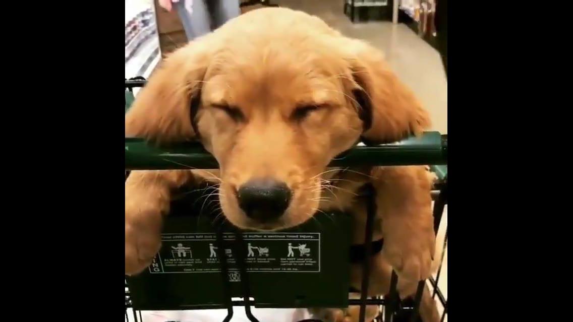 Cachorro tirando cochilo em supermercado