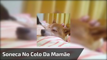 Cachorro Tirando Uma Soneca No Colo Da Mamãe, Olha Só Que Fofo!