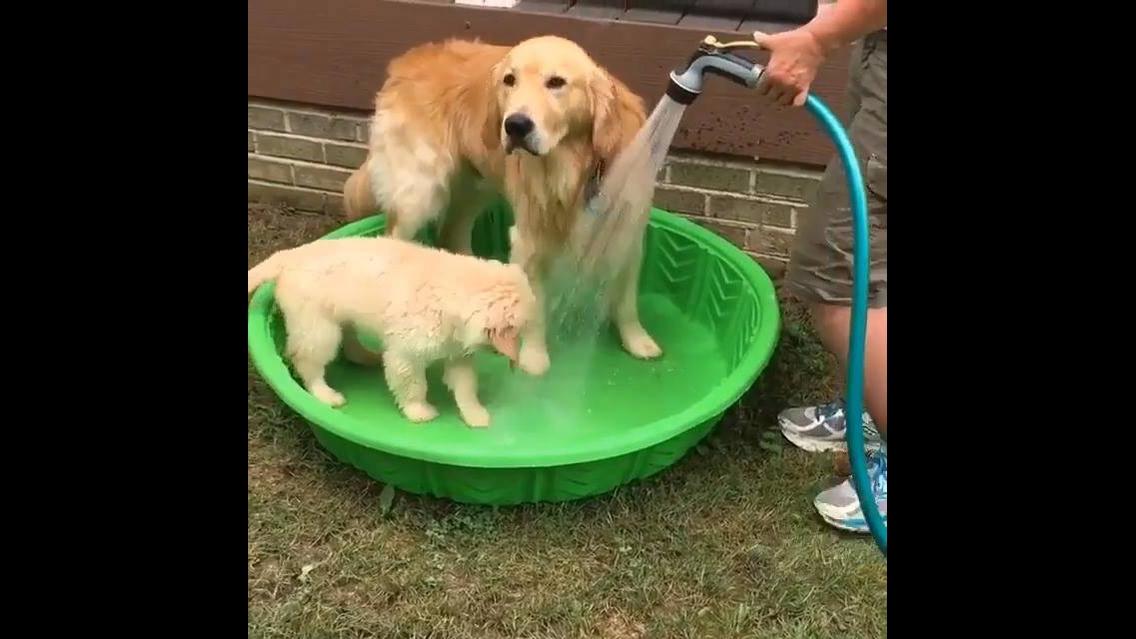 Cachorro tomando banho com o filhote, mais uma fofura para compartilhar!