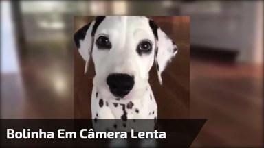 Cachorro Trazendo A Bolinha Em Câmera Lenta, Veja Que Engraçado!