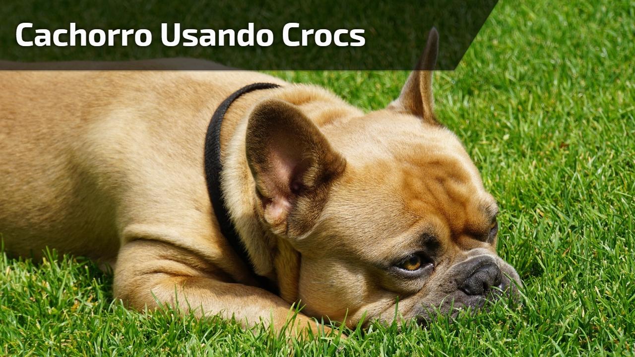 Cachorro usando Crocs
