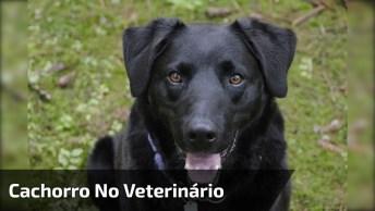 Cachorro Vai Ao Veterinário Fazer Exame De Sangue E Não Da Um Pio, Que Fofo!