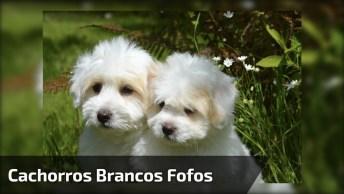 Cachorros Brancos Peludos, Os Dois Sãos As Coisas Mais Fofa Que Você Verá Hoje!