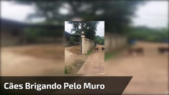 Cachorros Brigando Pelo Muro, Mas Com O Portão Aberto Hahaha!