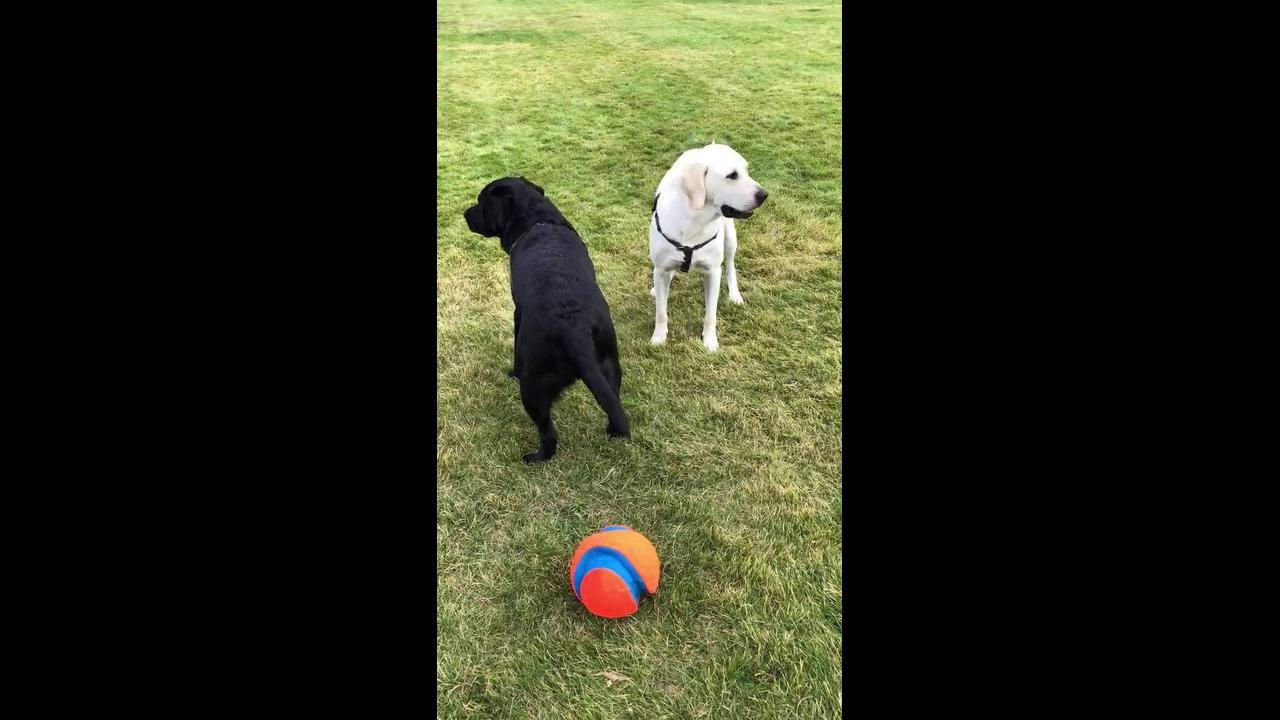 Cachorros brincando com a bola