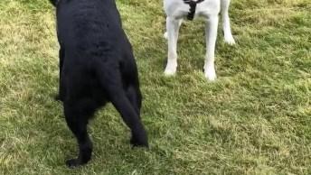 Cachorros Brincando Com A Bola, Veja A Alegria Dele Esperando Seu Humano Jogar!
