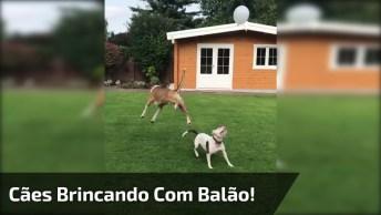 Cachorros Brincando Com Balão, Olha Só A Alegria Destes Dois!