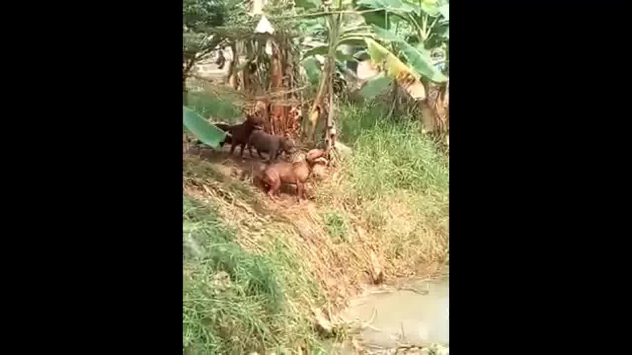 Cachorros brincando de pular na água