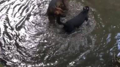Cachorros Brincando No Rio, Olha A Alegria Desses Seres!