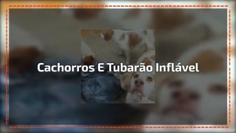 Cachorros Com Medo De Tubarão Inflável, Para Rir E Compartilhar!