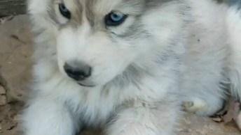 Cachorros Com Olhos Azuis, Que Coisa Mais Linda Esses Filhotes!