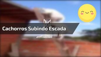 Cachorros Conseguem Subir Em Cima Da Casa Com Ajuda De Escada!
