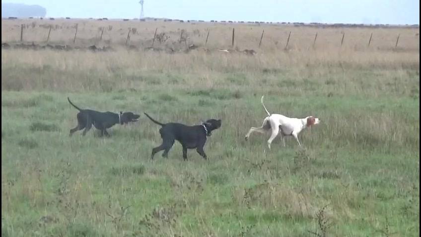 Cachorros de caça, esses são mesmo treinados para caçar