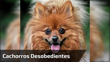 Cachorros Desobedientes E Teimosos Hahaha, Muito Engraçado!