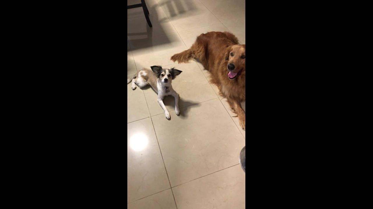 Cachorros esperando a mamãe humana cantar a canção do almoço para comer