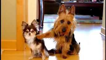Cachorros Fazendo Coisas Engraçadas, Um Vídeo Legal Para Compartilhar!