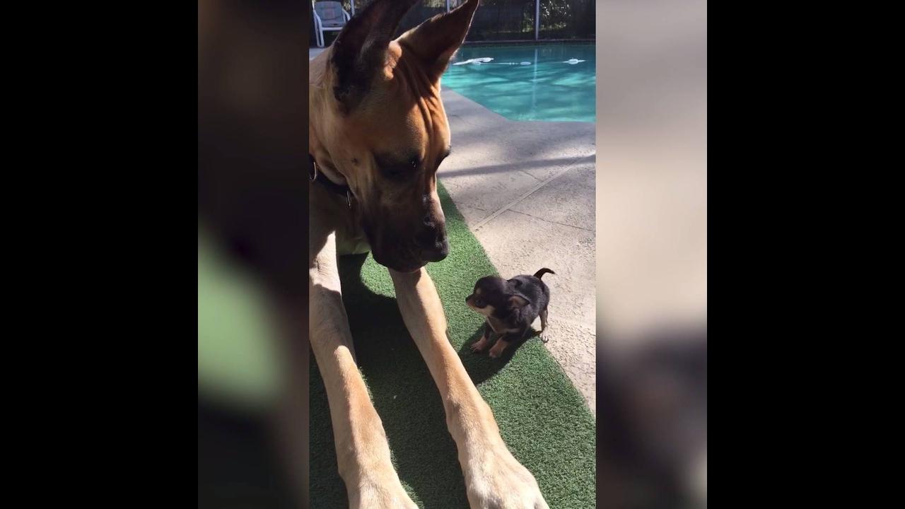 Cachorros gigantes fazendo coisas engraçadas