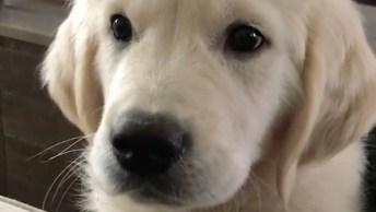 Cachorros Golden Retrievers, Conheça A Raça Que Ocupa O 4º Lugar Em Inteligência