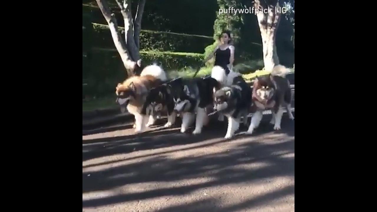 Cachorros que parecem lobos passeando pelo parque