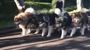 Cachorros Que Parecem Lobos Passeando Pelo Parque, Que Lindos!