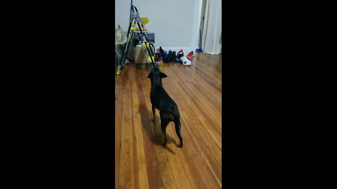 Cachorros se comunicando a distância