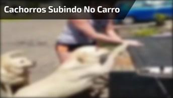 Cachorros Subindo Na Carroceria De Uma Caminhonete Com A Ajuda Da Mamãe!