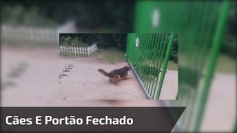 Cães Brigam Enquanto O Portão Esta Fechado, Veja Quando Ele Abre!