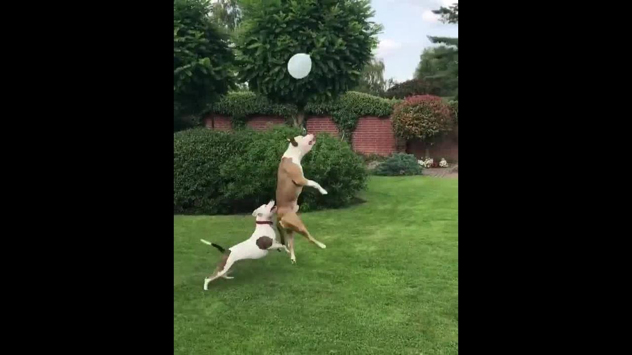 Cães brincando com balão