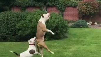 Cães Brincando Com Balão, Veja A Alegria Destes Dois Amiguinhos Se Divertindo!
