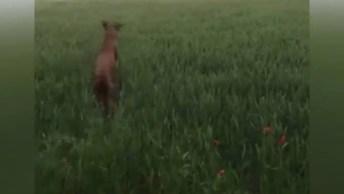 Cães Brincando Em Campo, Olha Só Como Pulam E Se Divertem!