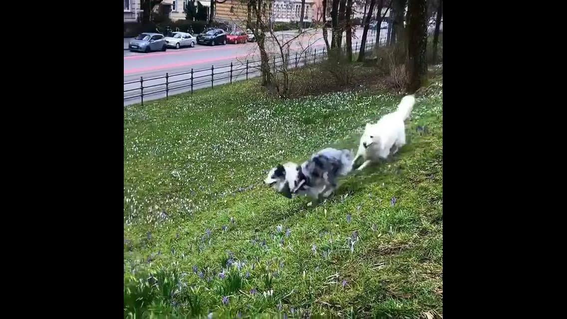 Cães brincando na grama, veja que lindos estes amiguinhos