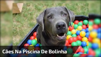 Cães Brincando Na Piscina De Bolinha, Olha Só A Alegria Deles!
