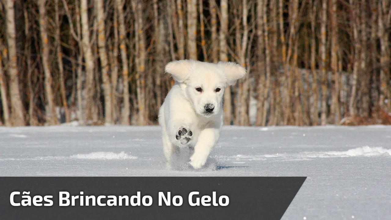 Cães brincando no gelo