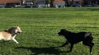 Cães Brincando No Quintal, Olha Só A Alegria Destes Dois Amiguinhos!