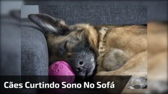 Cães Da Raça Pastor Alemão Curtindo Uma Preguiça No Sofá, Que Lindos!
