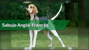 Cães Da Raça Sabujo Anglo-Francês Alimentado-Se, São Mais De 120 Cães!