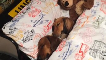 Cães Dormindo Na Caminha, Se Não Tivesse Filmado Ninguém Acreditaria!