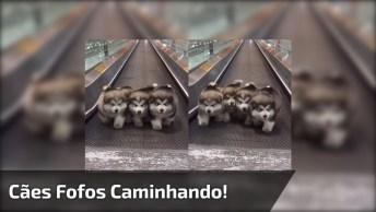 Cães Fofos Caminhando Em Uma Esteira - Que Bolinhas De Pelos Lindas!