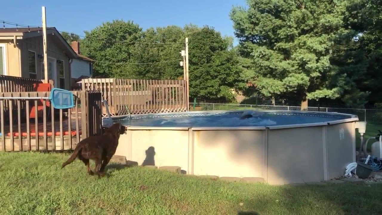 Cães pulando na piscina, olha só como eles gostam de água