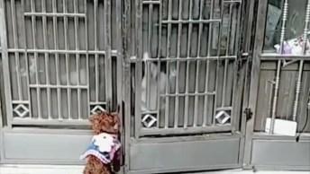 Cães Sabem Abrir E Fechar O Portão, Veja Como São Espertos Estas Criaturas!