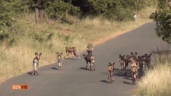 Cães Selvagem Tentando Atacar Um Javali, Mais Ele Consegue Fugir!