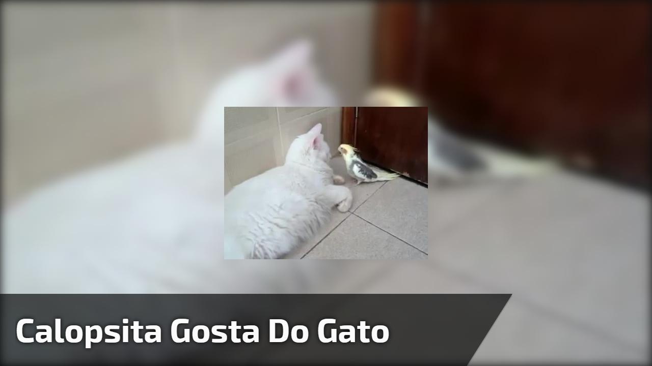 Calopsita gosta do gato