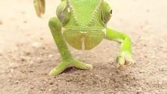 Camaleão Andando Tranquilamente, Veja Que Animalzinho Gracioso!